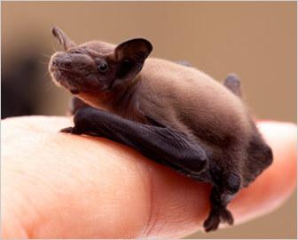 Bats Bat Helpful Bats Protecting Endangered Bats Bat Houses Bat ...