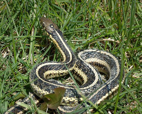 Snakes - Oakland, Wayne, Livingston, Macomb County Michigan