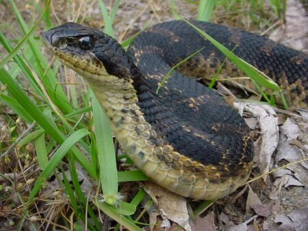 Snakes - Oakland, Wayne, Livingston, Macomb County Michigan