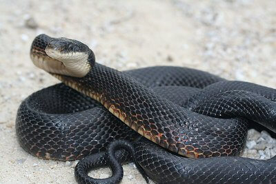 Snake Categories Page - Reptiles-N-Critters