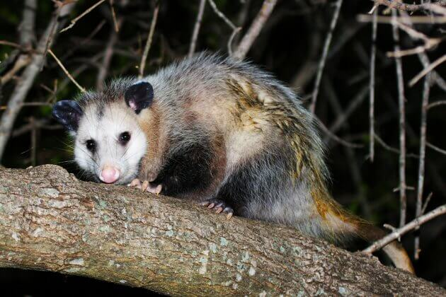 Opossum Removal Service Oakland, Wayne Macomb County Michigan