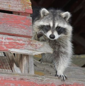 Detroit Raccoon Removal