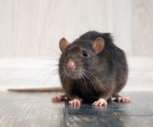 Rats Mice Removal Detroit MI