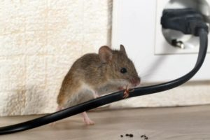 Rat and Mice Removal Detroit MI