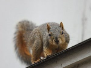 Detroit Michigan Squirrel Removal