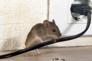 Mice Removal Detroit